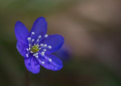 Hepatics Nobilis blues of spring