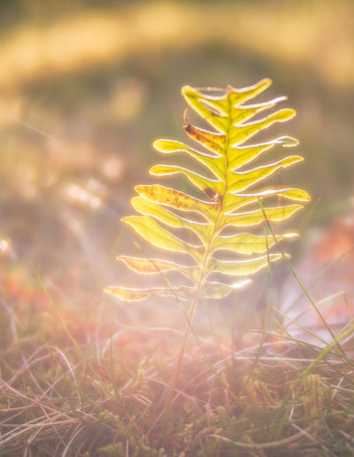 Rainbow fern (Edge 50)