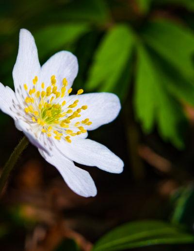 Wood anemone, Velvet 56