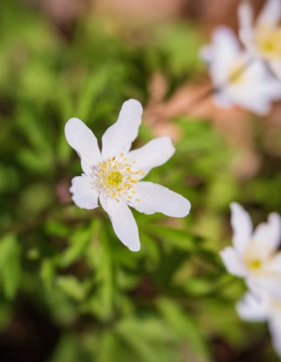 Wood anemone, Velvet 56 and Omni