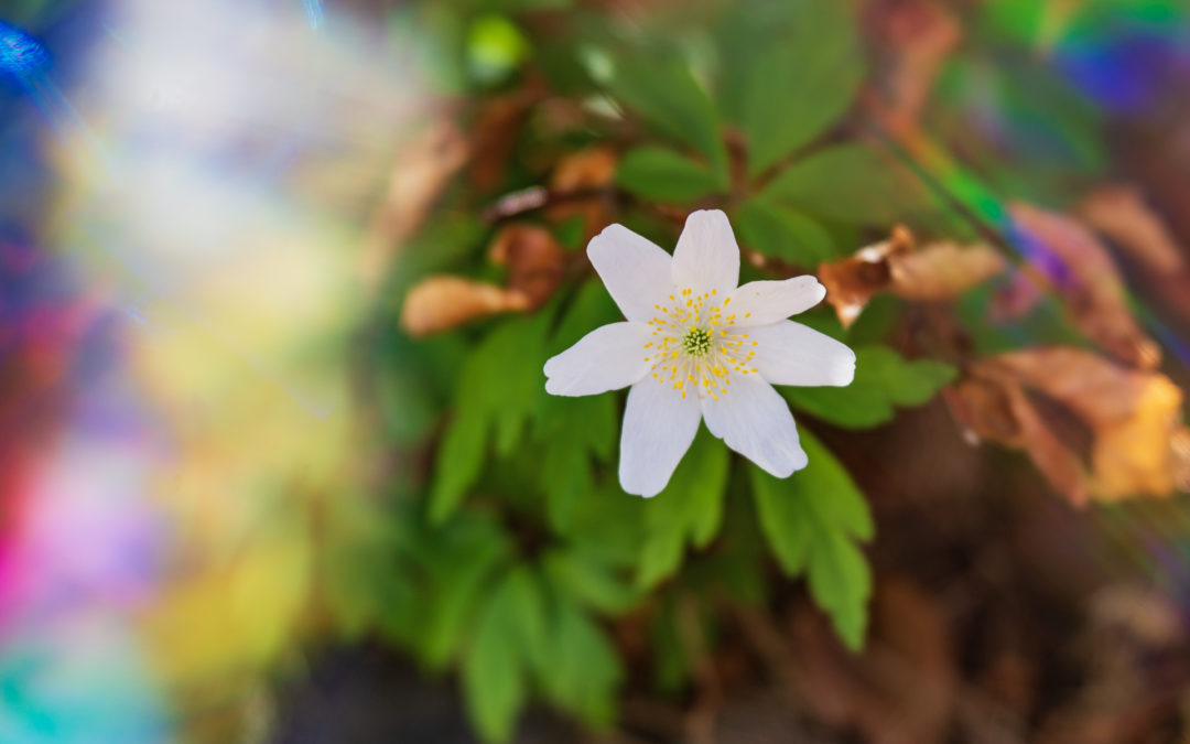 Spring buds and more anemones