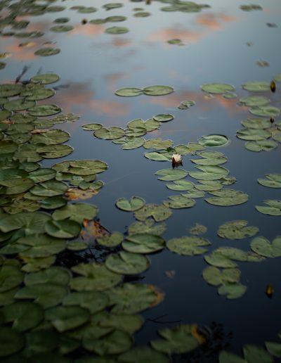 Waterlilies in lake