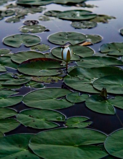 Waterlily in lake